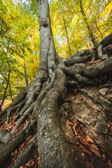 Baum mit großen Wurzeln