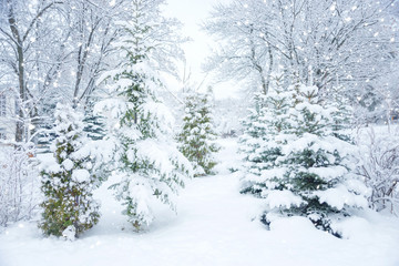 Snow-covered fir-trees outdoors