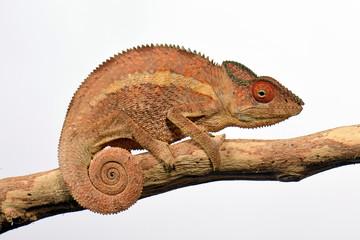 Fototapeten Chamaleon Pantherchamäleon (Furcifer pardalis) - Panther chameleon