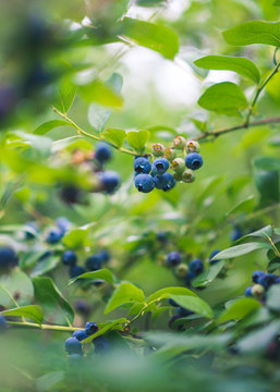 A cluster of blueberries on a blueberry bush