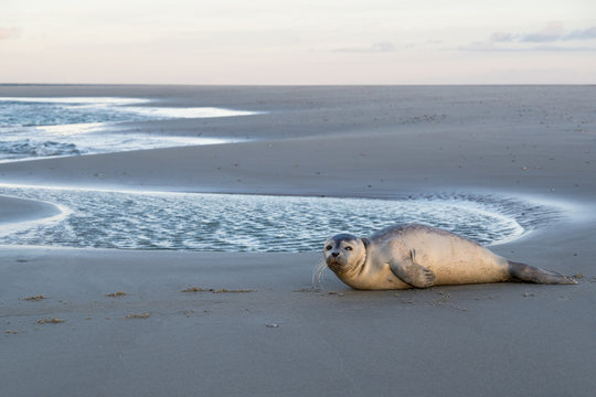 young harbor seal at the beach of the Dutch island of Texel
