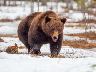 Female brown bear (Ursus arctos) foraging for food in the snow. Finland. Near Russian border.