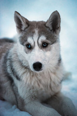 Young husky sled dog with blue eyes on white snow