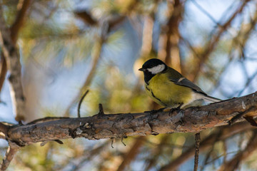Bird Great tit, or Parus major. Sitting on a branch in spring/summer forest. Birds blue titmouse sitting in the garden among the colorful branches. Natural background.