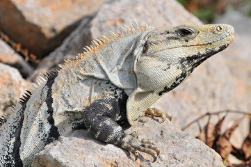 Ctenosaura similis, commonly known as the black spiny tailed iguana, black iguana, or black ctenosaur, is a lizard native to Mexico and Central America.