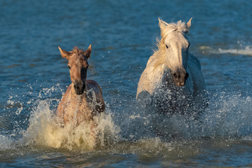 Horse and foal running in the water in swamps