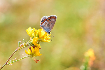 Macro photo of a butterfly close-up. A butterfly sits on a flower. The moth sits on a flower and drinks nectar. A photo of a moth in the grass close up. Butterfly collects floral nectar.