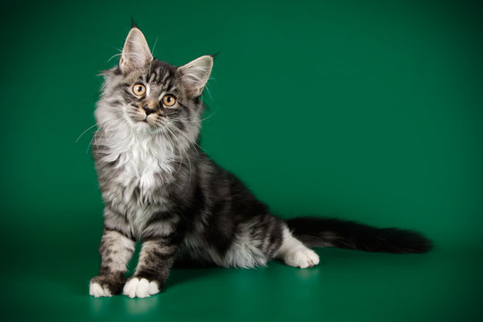 Maine Coon cat on colored backgrounds