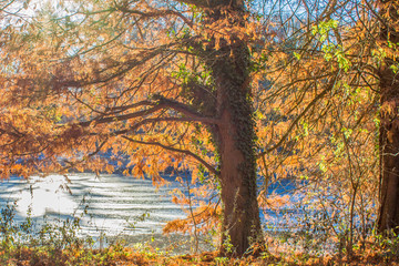 beautiful view of a tree trunk with its branches with orange and green leaves with a lake in the background on a sunny day in autumn in Beek south Limburg the Netherlands Holland