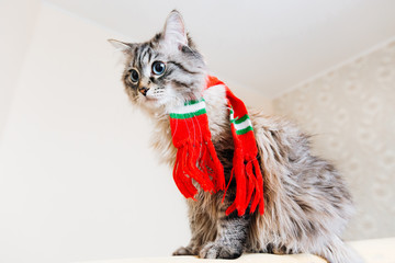 A cat with a red scarf on his neck is sitting and looking down with curiosity