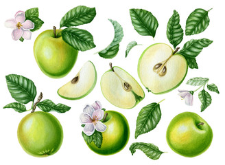 Set of green apples with leaves and flowers. Botanical art. Hand drawn watercolor illustrations. Isolated on white background.