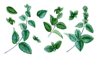 Big set of peppermint. Hand drawn realistic design elements. Botanical illustrations. Isolated on white background.