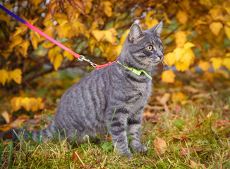 Gray cat on a walk in the autumn park