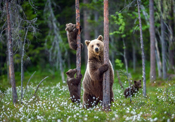 She-bear and cubs. Brown bear cubs climbs a tree. Natural habitat. In Summer forest. Sceintific...