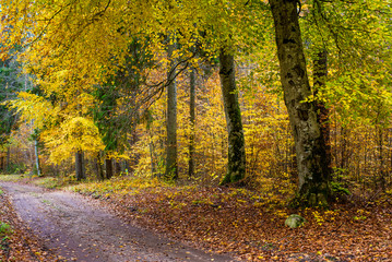 An autumn forest landscape. A road through the trees. Close-up view of beech trees, green and golden leaves, Germany