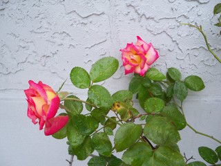 Blush and Pink Dick Clark Roses