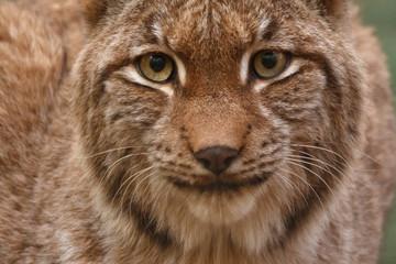 Aluminium Prints Lynx Luchs im Herbstwald