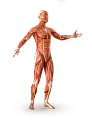 Muscles anatomy figure, isolated. Healthcare concept. 3D illustration