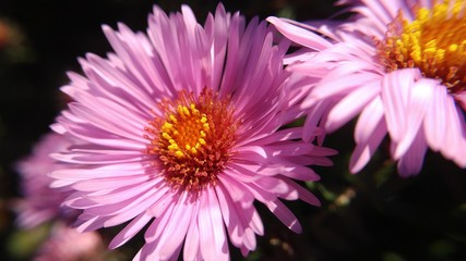 Closeup of pink flower. Crysanthemum.