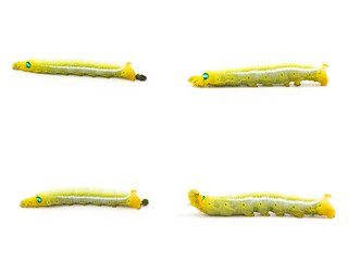 Yellow butterfly worm on white background