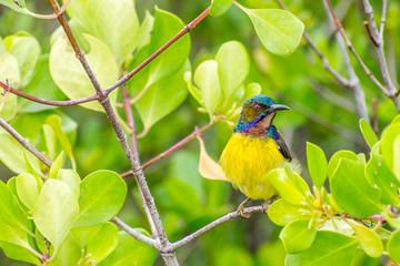 Plain-throated Sunbird perching