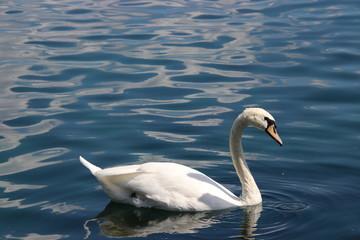 Swan birds swimming on blue reflecting water lake.