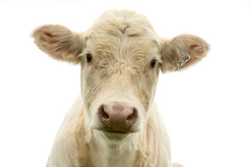 Photo sur Aluminium Vache White cow looking at us in a white background