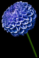 Canvas Prints Dahlia flower isolated blue dahlia on the black background. Flower on the stem. Closeup. Nature.