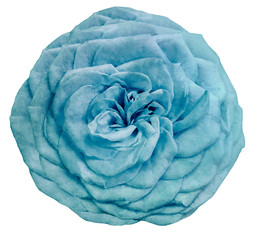 watercolor isolated flower light turquoise rose on a white background. Closeup. For design. Nature.