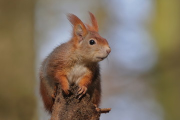 Art view on wild nature. Cute red squirrel with long pointed ears in autumn scene . Wildlife in November forest. Squirrel sitting on the stump . Sciurus vulgaris