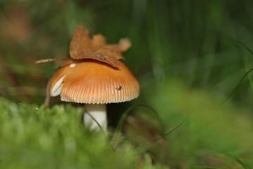 Small yellow mushroom growing in green moss. Beautiful macro detail
