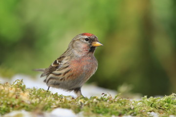 Common redpoll sitting on the ground. Acanthis flammea. Wildlife scene from nature. Songbird in the nature habitat