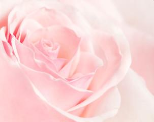 Closeup picture of a rose petals