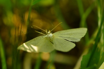 White butterfly in the green grass light of the morning sun slides on the wings