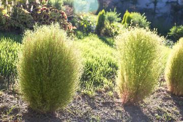 Young Green Plants Of Kochia.