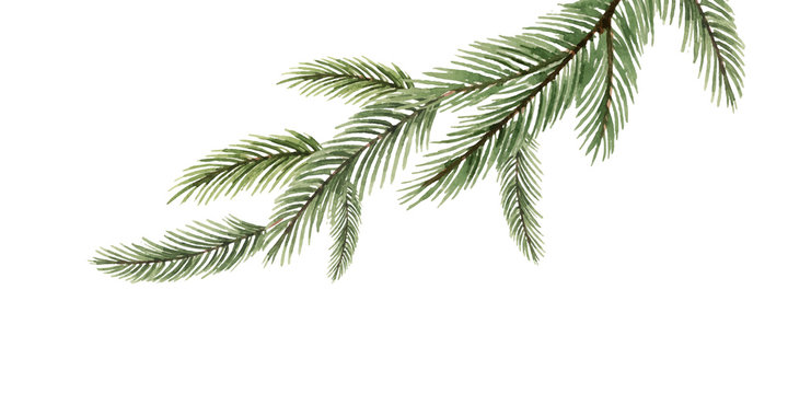 Watercolor vector green spruce branch, Christmas tree.