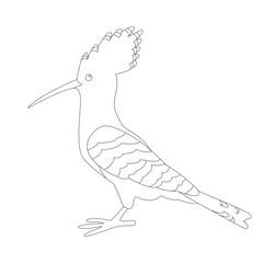 hoopoe bird vector illustration  lining draw