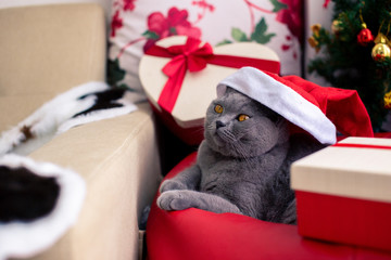 Scottish Fold mixed with British Shorthair cat in gray color wearing santa claus hat with many gifts and Christmas tree laying down in cozy home.