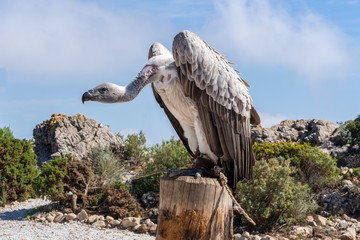 vulture standing on a stump