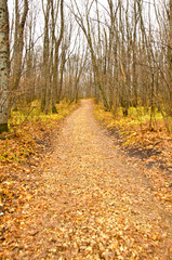 Autumn forest fallen leaves and bare trees, path