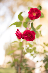 red roses and green leaf in the garden