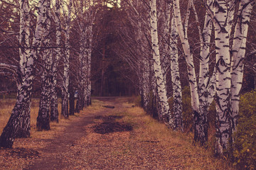 birch walls and the road in the forest