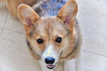 Sitting corgi dog portrait