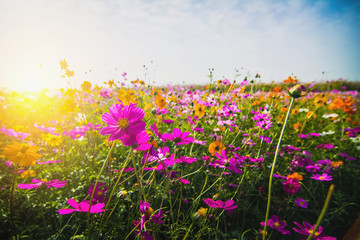 Beautiful cosmos flowers blooming in the garden in the morning.