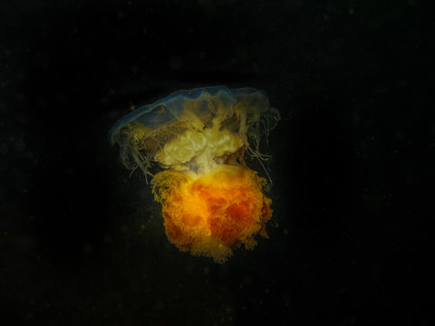 Lions Mane Jellyfish in Norway