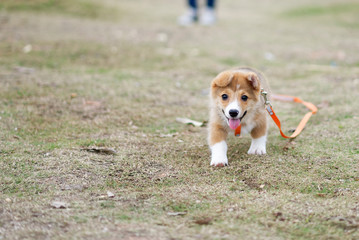 Happy corgi puppy running on grass