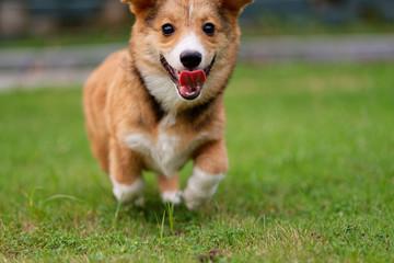 Happy corgi puppy running on grass