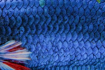 Fish scale Siamese betta fish beautiful color background