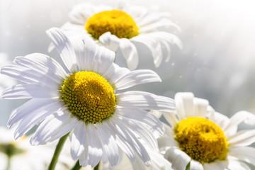 Photo sur Plexiglas Marguerites Image with daisies.