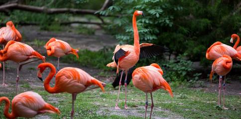 Flamingo flapping